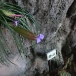Pink quill/ ハナアナナス 花の咲いている様子