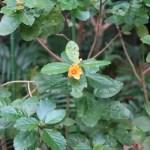 Ilima/ イリマ 花の咲いている様子