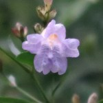 Goldfussia/ ストロビランテス・アニソフィルス 花の姿