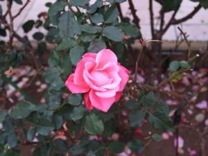 バラ モダンローズ プリンセスチチブ