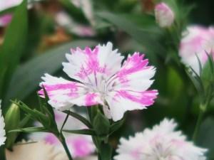 Dianthus ナデシコ属