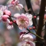 Japanese apricot/ ウメ 花の姿 品種 道知辺