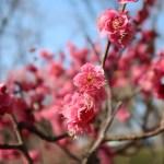 Japanese apricot/ ウメ 花の姿 品種 大盃