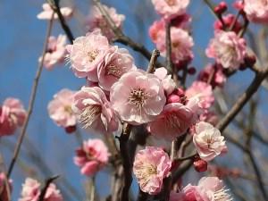 Japanese apricot/ ウメ 花の姿 品種 蓮久