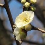 Japanese apricot/ ウメ 花の姿 品種 緑萼