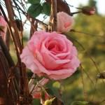 バラ モダンローズ ベトナムの公園のバラ品種名 不明