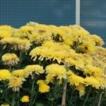 Florist's daisy/ Chrysanthemum/ キク 菊 花の様子