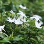 Crape Jasmine サンユウカ 花の様子