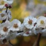 Japanese apricot/ ウメ 花の姿 品種 柳川絞