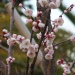 Japanese apricot/ ウメ 花の咲いている様子 品種 豊後梅