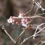 Cherry var. Kinkimamezakura/ キンキマメザクラ 咲き始めの花の姿