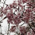 Cherry var. Kanzakura/ カンザクラ 盛りを少し過ぎた花の様子