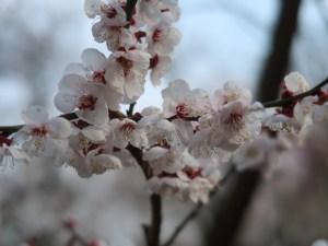 Japanese apricot/ ウメ 花の姿 品種 入日の海