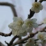 Japanese apricot/ ウメ 花の姿 品種 月影