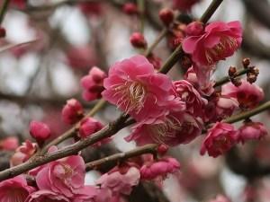 Japanese apricot/ ウメ 花の姿 品種 筑紫紅