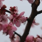 Japanese apricot/ ウメ 花の姿 品種 雛曇り