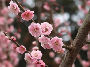 Japanese apricot/ ウメ 花の姿 品種 難波紅