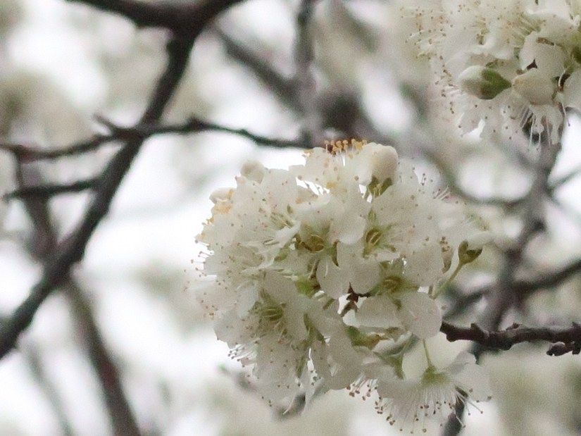 Japanese plum/ スモモ