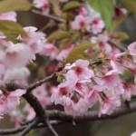 Cherry var. Oh-kanzakura/ オオカンザクラ 散り始めた花の様子
