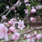 Almond/ アーモンド 花の咲いている様子