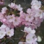 Cherry var. Jindai-akebono ジンダイアケボノ