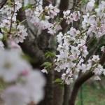 Kanzaki oshima/ カンザキオオシマ 花の咲いている様子