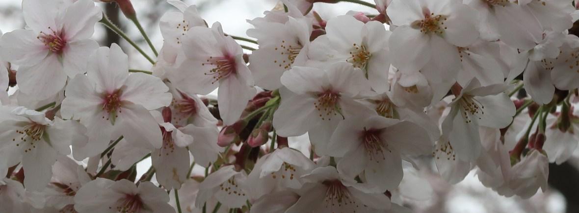 Cherry var. Someiyoshino/ ソメイヨシノ