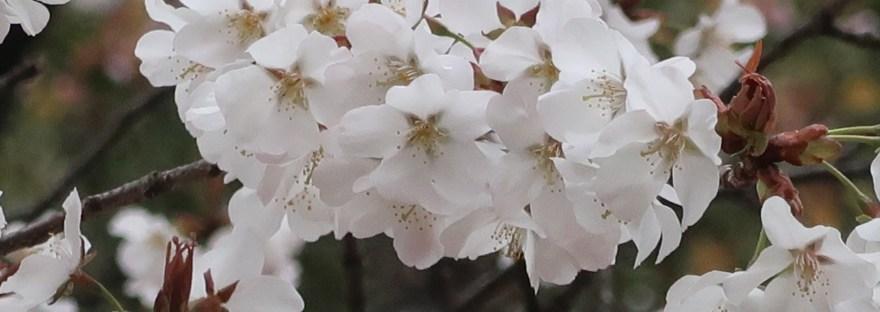 Cherry var. Yamazakura/ ヤマザクラ