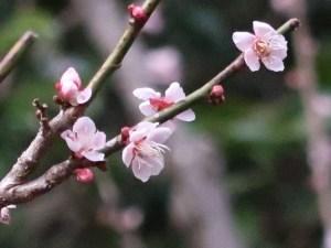 Japanese apricot/ ウメ 花の姿 品種 烈公梅