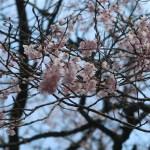 Cherry var. edohigan/エドヒガン 白鷹の薬師桜