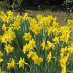 Poet's daffodil/ クチベニスイセン 花の咲いている様子
