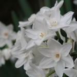 Bunch-flowered Narcissus/ フサザキスイセン ペーパーホワイト系 花の様子