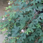 Sensitive plant/ オジギソウ 花の咲いている様子