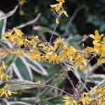 Forsythia 'Kumson'/ チョウセンレンギョウ 花の咲いている様子