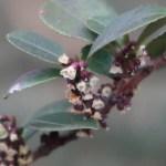 East Asian eurya/ ヒサカキ 花の咲いている様子 (雌花)