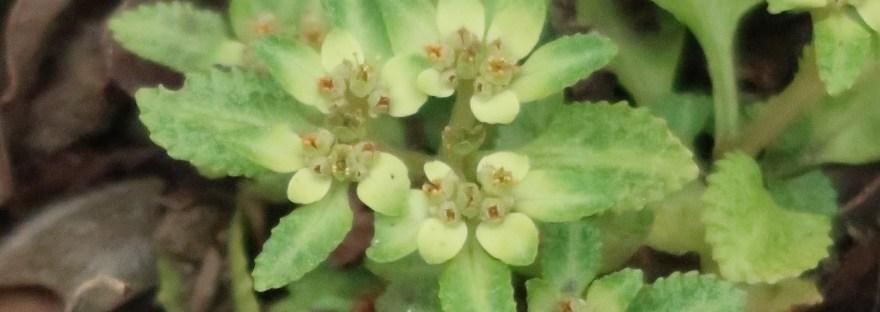 Golden saxifrage/ イワボタン