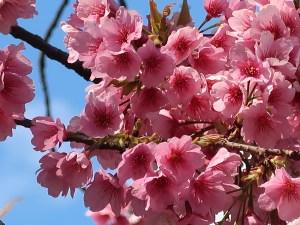Cherry var. Oh-kanzakura オオカンザクラ 散り始めの花の様子