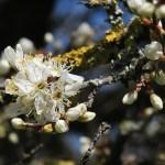 Blackthorn/ スピノサスモモ 咲き始めた花の様子