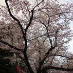 Cherry var. Someiyoshino/ ソメイヨシノ 花の咲いている上野公園標準木の様子