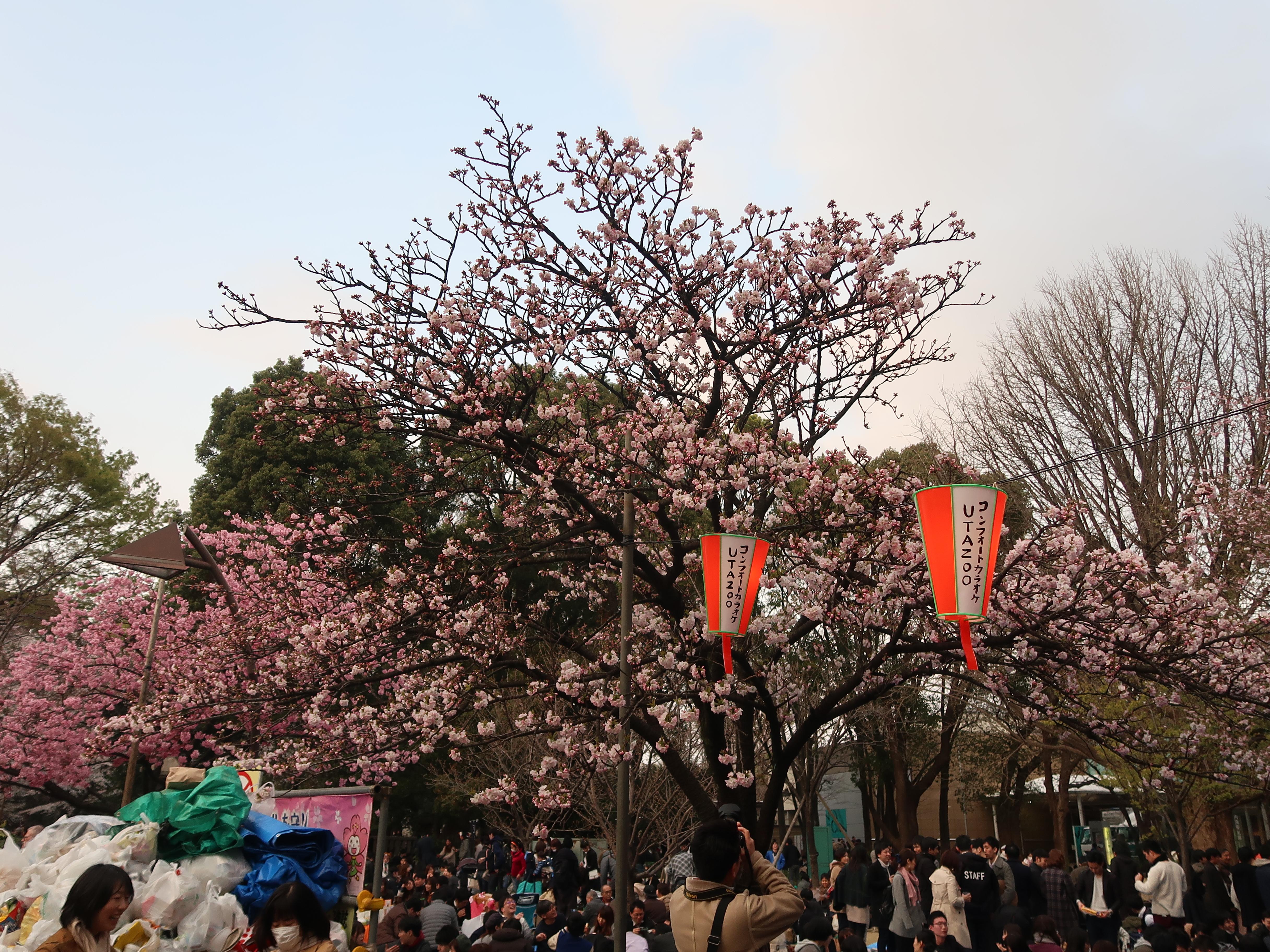 Cherry var. Kokeshimidzu/ コケシミズ 花の咲いている木の全景