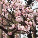 Cherry var. Kokeshimidzu/ コケシミズ 花の咲いている様子