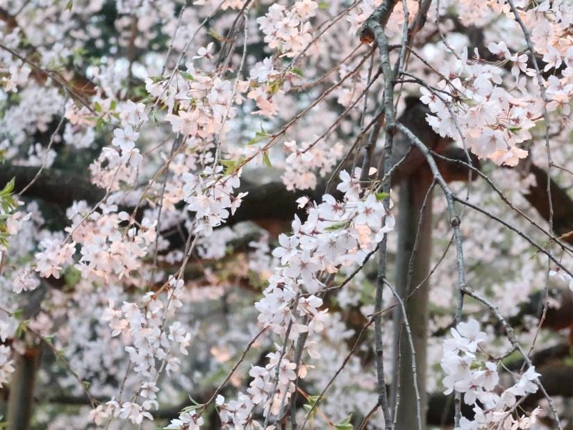 Cherry var. Shidare-sakura/ シダレザクラ