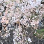 Cherry var. Shidare-sakura/ シダレザクラ 花の咲いている様子