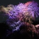 Cherry var. Shidare-sakura/ シダレザクラ ライトアップされた様子