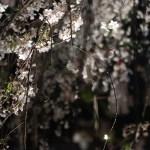 Cherry var. Shidare-sakura/ シダレザクラ 夜の花の様子