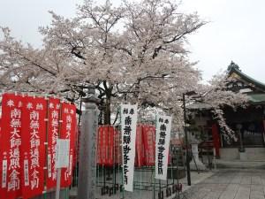 Cherry var. edohigan/ エドヒガン 花の咲いている木の全景