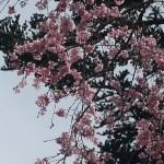 Cherry var. Shidare-sakura/ シダレザクラ チチブベニシダレ エドヒガン系のシダレザクラ