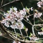 Cherry var. usubenihigan (edohigan) /ウスベニヒガン (エドヒガン)