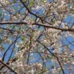 Prunus taiwaniana/ ムシャザクラ 花の咲いている様子