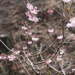 Cherry var. shofukuji/ ショウフクジ 花の様子